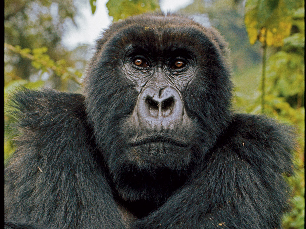 Researchers identify gorillas by their distinctive noseprints. Digit, an intimidating silverback and a Fossey favorite, became the namesake of her campaign to raise money after he was killed. Photo by Dian Fossey, National Geographic Creative