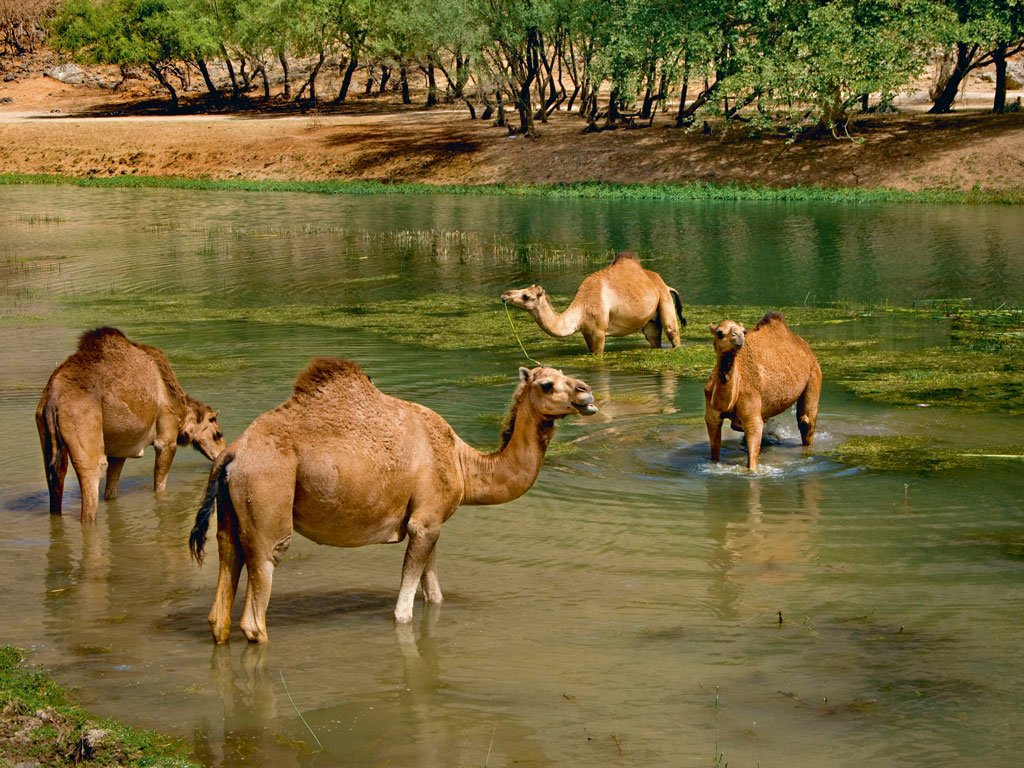 Spot herds of cute camels in Wadi Darbat. Photo by: Aldo Pavan/ Age Fotostock/Dinodia Photo Library