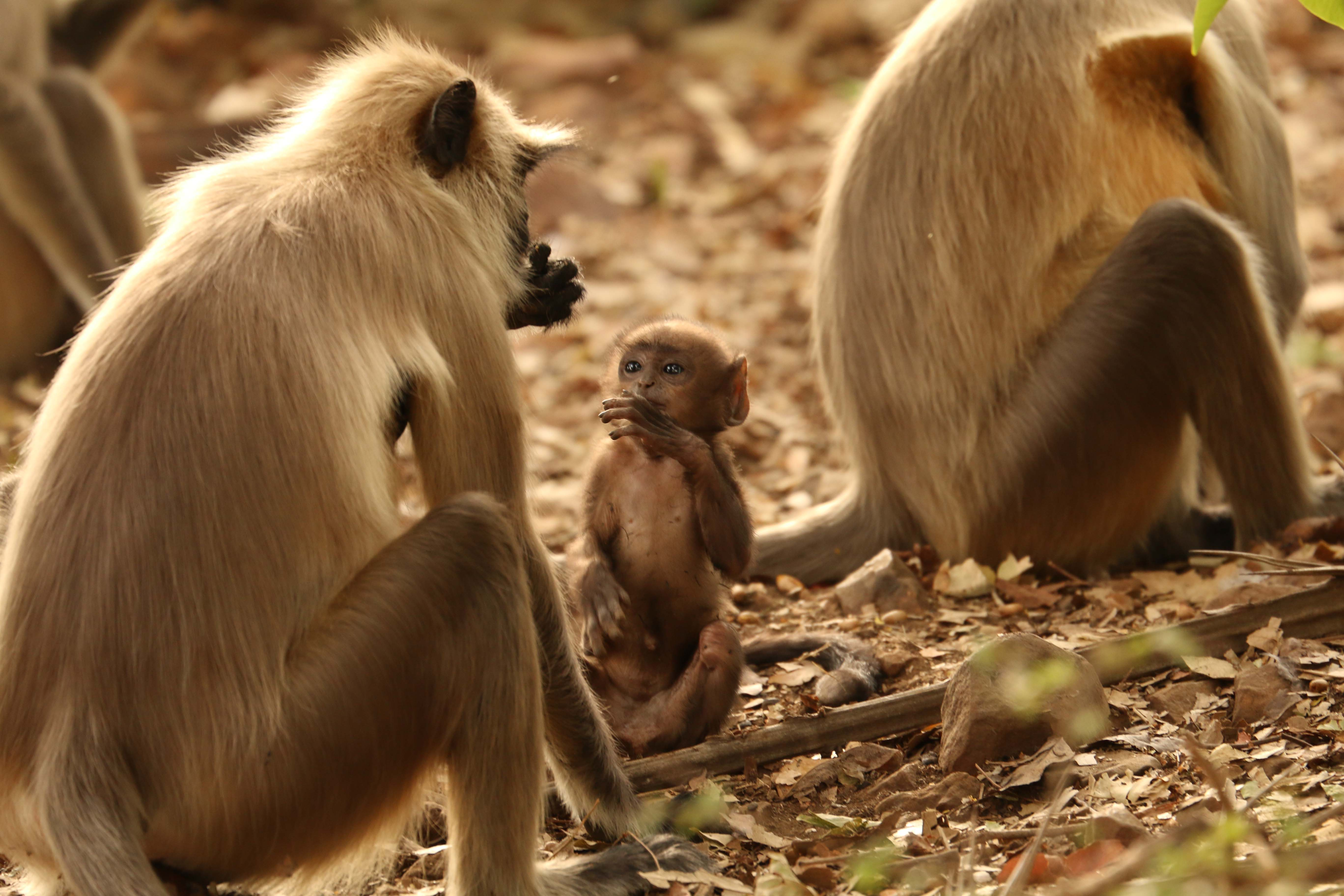 The phrase 'monkey see, monkey do' is popular for a reason, as these adorable creatures demonstrate. The photo was clicked in Van Vihar National Park, Bhopal.