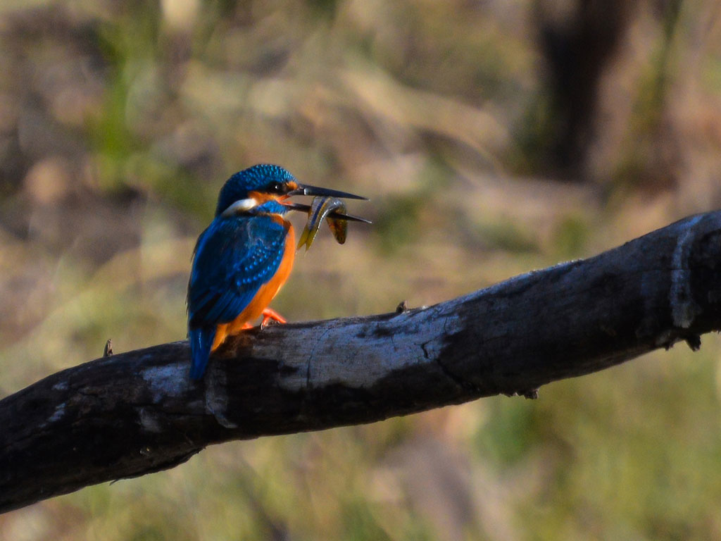 The common kingfisher is  always a welcome flash of blue in the jungle. This one is enjoying his meal at Van Vihar National Park, Bhopal.