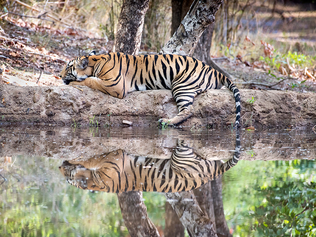 The photographer captured both the strength and grace of the resting tiger at the Bandhavgarh National Park.