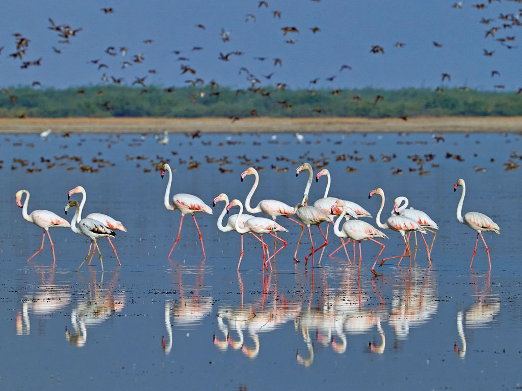 A flock of greater flamingoes make for a striking picture at the Little Rann of Kutch.  Photo by Anjuman Deodhar.