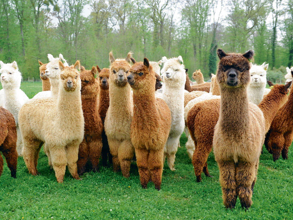 Alpacas are domesticated camelids and largely found only in farms around the world. Once prized for their milk and meat, demand for their wool has brought down meat trade. Photo 	Courtesy: Alpakafarm Schaber