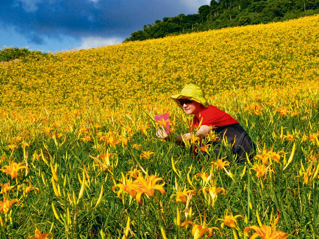 Over 1,500 acres in eastern Taiwan are dedicated to daylily cultivation. Known as jin zhen, meaning golden needle in Chinese, the flower is a delicacy and served as a deep-fried snack during the mid-autumn Moon Festival.