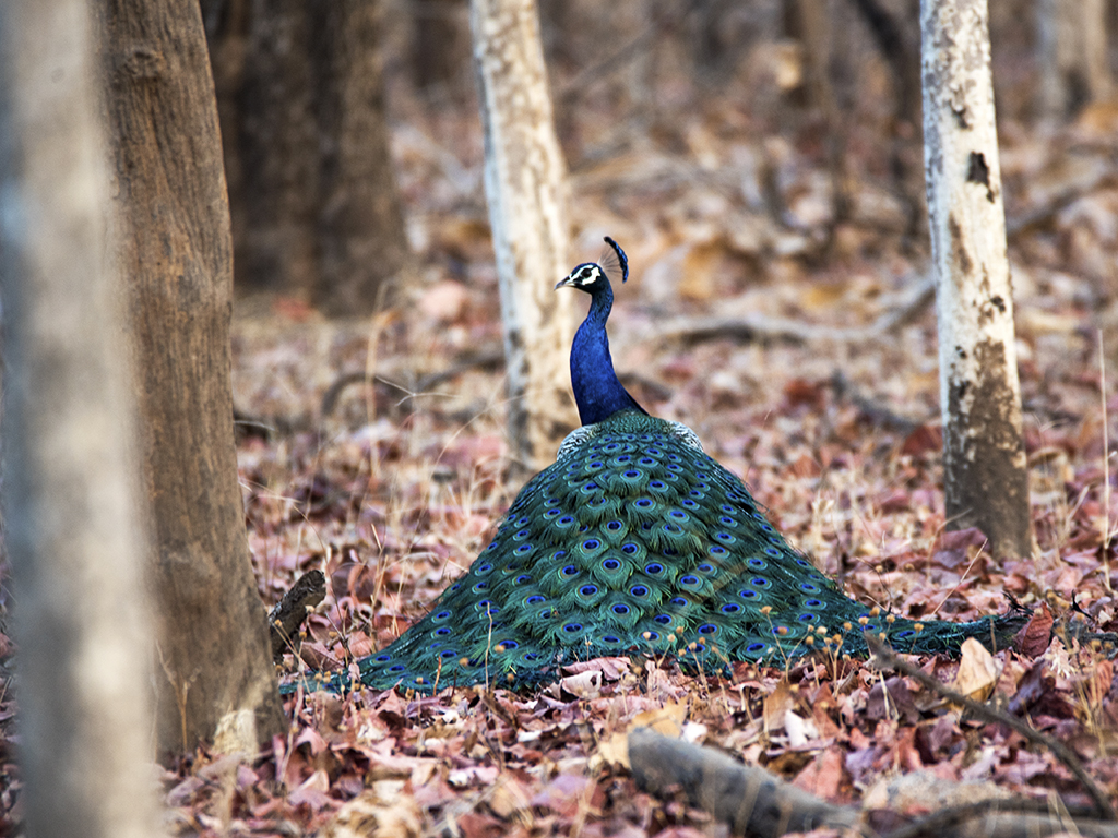 This picture of a peacock perched regally was clicked in Pench National Park.