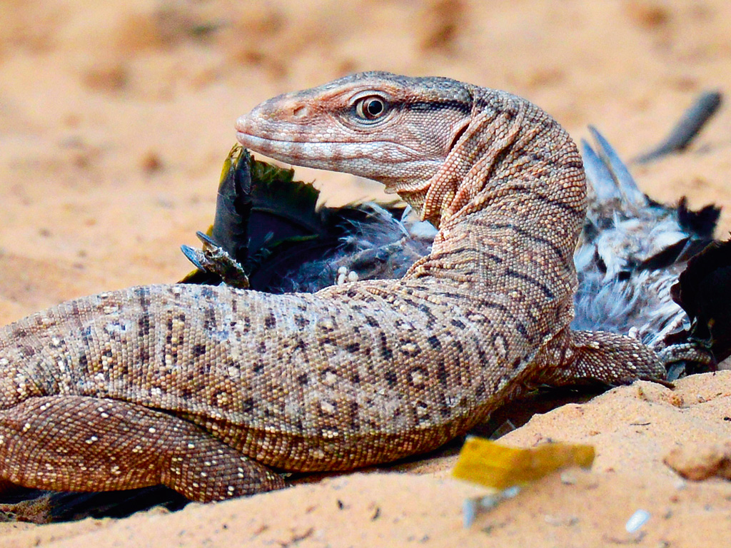 It takes a keen eye to notice the camouflaged monitor lizards. Photo by: Pacific Press/Alamy/india picture/India picture