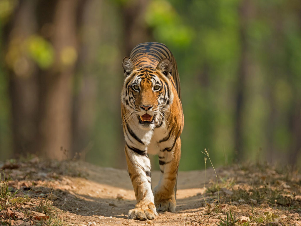 Video: Kanha and Pench National Parks are Fit for the Wild 1