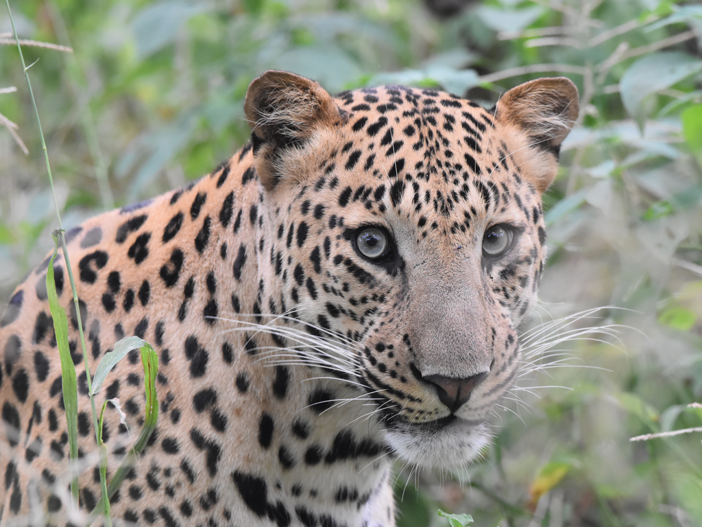 Leopards are the stars of Jhalana. Photo by: Rohit Gangwal