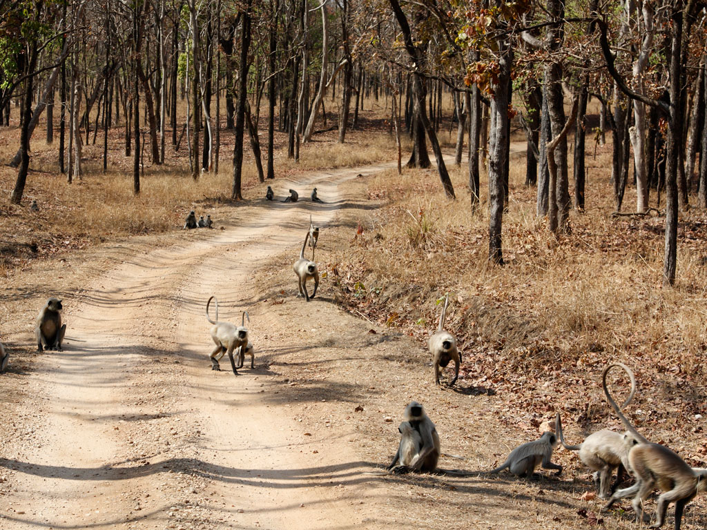 Some of the most playful and inquisitive residents at Pench National Park are its large population of grey langurs. Photo by Christine Pemberton/Gallo Images/Getty Images.