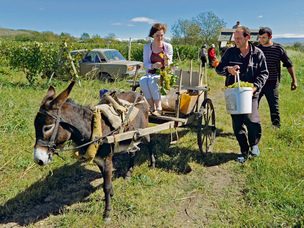 During harvest season or Rtveli in autumn, winemakers invite family, friends and neighbours to the vineyeard to participate. Folk music accompanies the celebratory feasts and it is customary for guests to wish the host a bountiful harvest. Photo by: Vano Shlamov/Stringer/AFP/Getty Images