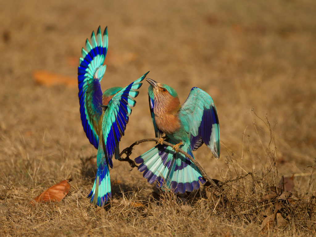 M.P.'s national parks are also great to hone birding skills. This pair of Indian Rollers was shot in Kanha National Park. Photo by Joe McDonald/Corbis Documentary.